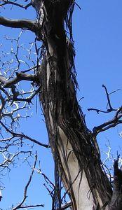 Manzanita (Arctostaphylos pringlei), Deer Springs Trail, 26 Jun 2005
