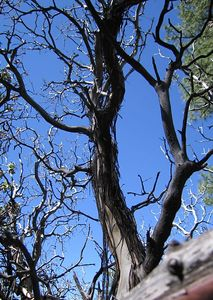 Dead Manzanita (Arctostaphylos pringlei), Deer Springs Trail, 26 Jun 2005