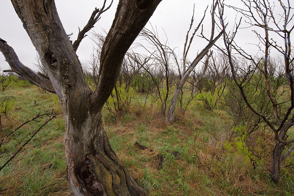 Area where mesquite trees were sprayed with an arial application of herbicide 30 years ago to promote grass growth.