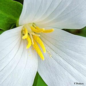 White Trillium.
