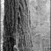 Ancient Douglas-Fir ~ Pseudotsuga menziesii