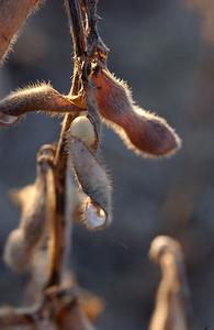 Soybean - Dried