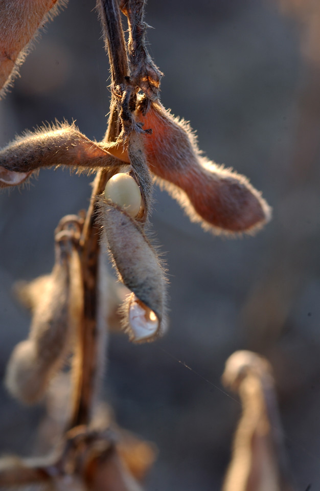 Soybean - Dried