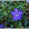 Periwinkle Blue—Vinca minor