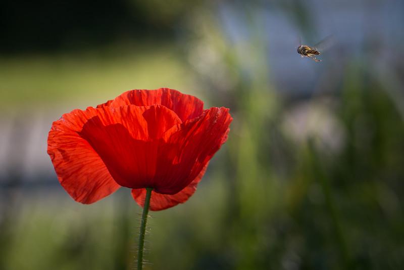 Svirreflue lander på valmue (papaver)
