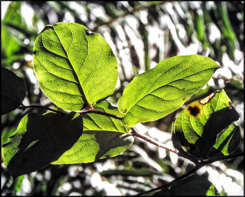 Salal Leaves ~ Gaultheria shallon