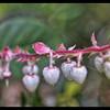 Salal—Gaultheria shallon