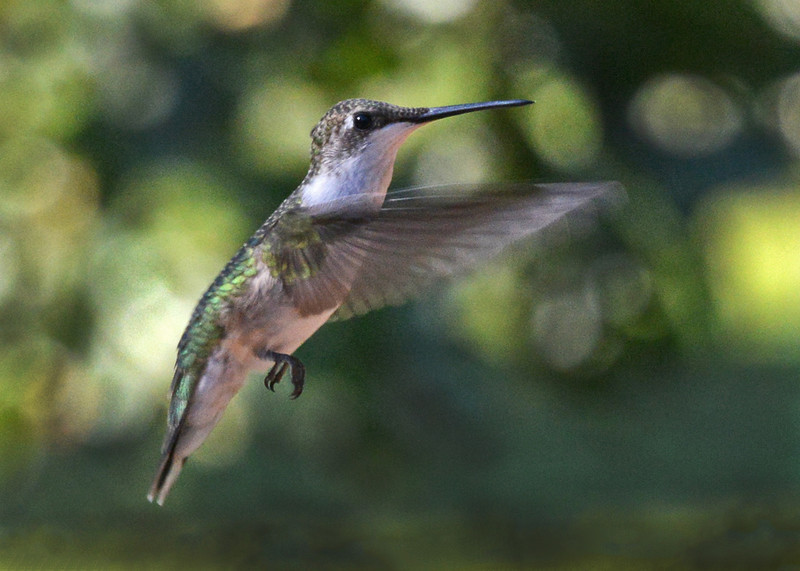 Hummingbird. Cape Carteret, NC 2012.