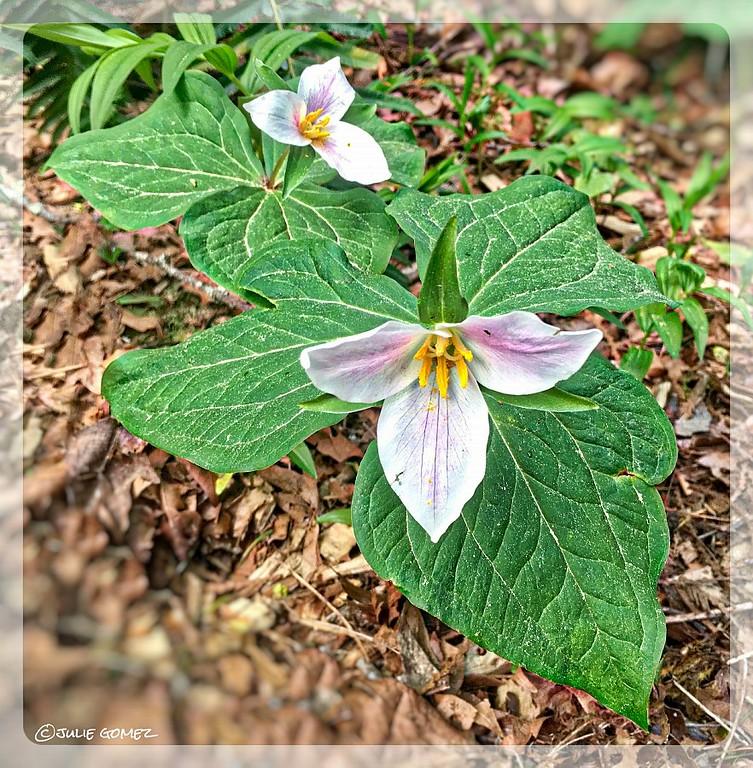 Pacific Trillium—Trillium ovatum