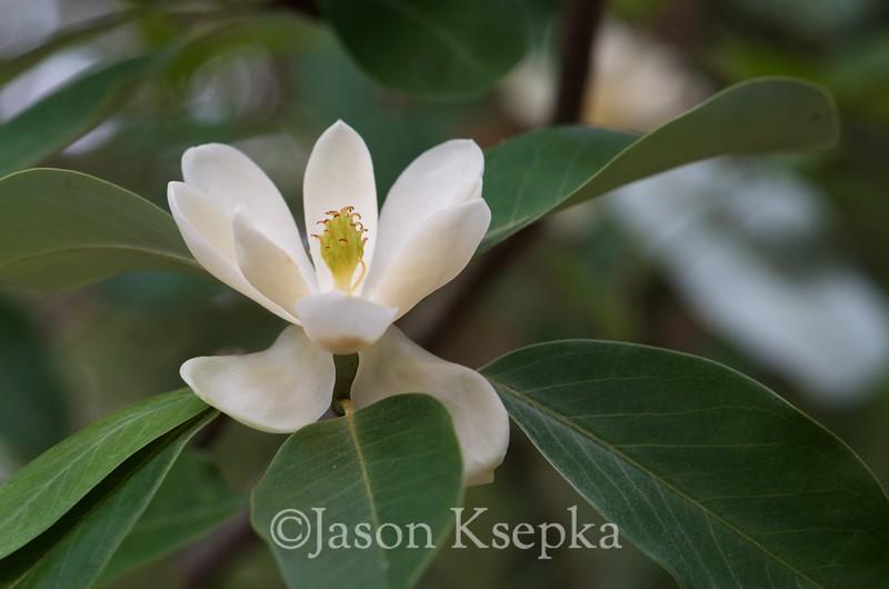 Magnolia virginiana, Sweetbay Mahnolia; Ocean County, New Jersey 2013-06-17   3