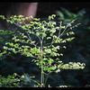 Red Huckleberry—Vaccinium parvifolium