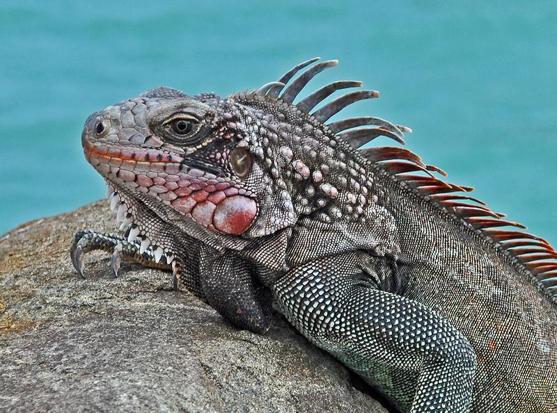 Iguana. St Thomas. 2011.