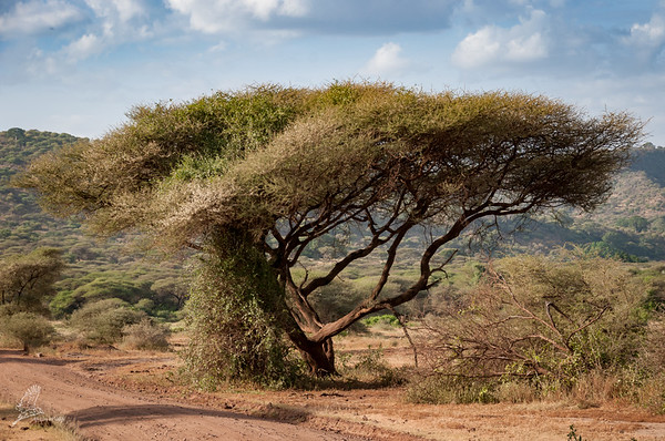 Vachellia abyssinica