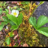 Wild Strawberry—Fragaria virginiana