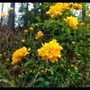 Double Flowered Japanese Rose—Kerria japonica 'Pleniflora'