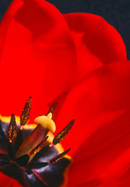 Tulip 2a