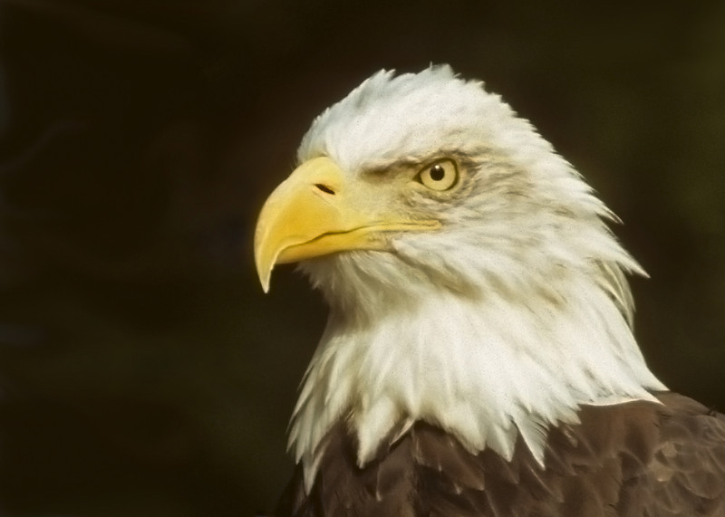 Bald Eagle. 2003.
