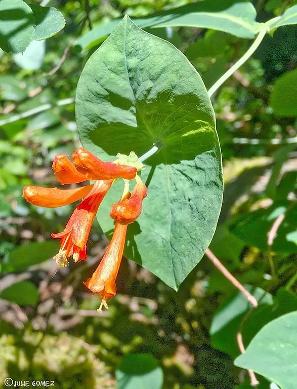 Trumpet Honeysuckle—Lonicera ciliosa
