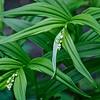 Starflowers—Maianthemum stellatum