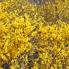 Forsythia shrub