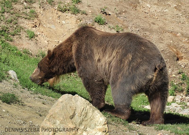 Alaska Grizzly 2018