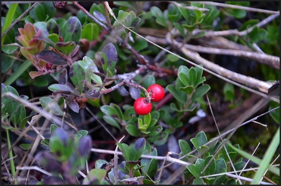 Kinnikinnick ~ Arctostaphylos uva-ursi