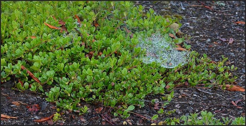 Bearberry (Kinnikinnick) ~ Arctostaphylos uva-ursi