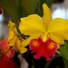 red and yellow cattleya