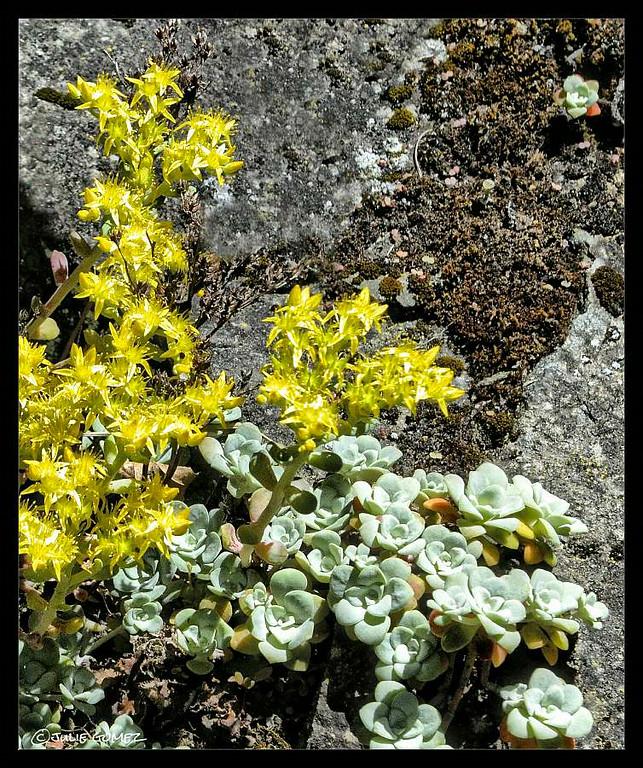 Oregon Stonecrop ~ Sedum oreganum