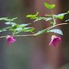 Salmonberry—Rubus spectabilis