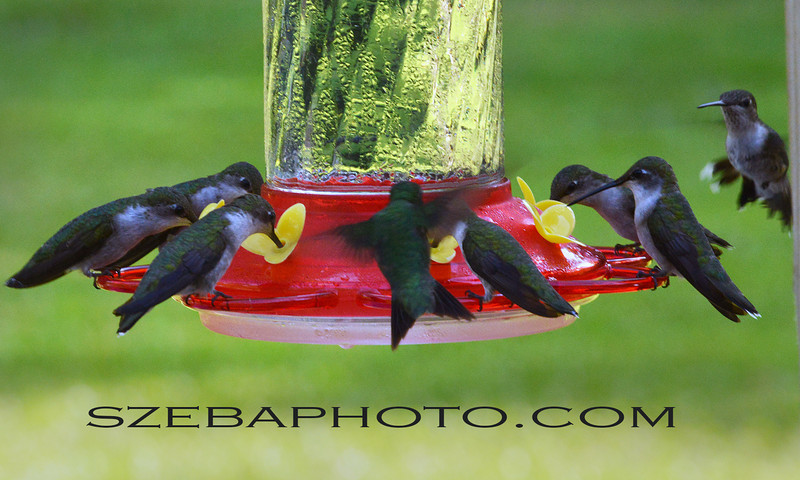 Spring, 2013.  I had more than 15 hummingbirds feeding every morning. They were drinking 2 quarts of nectar a day.