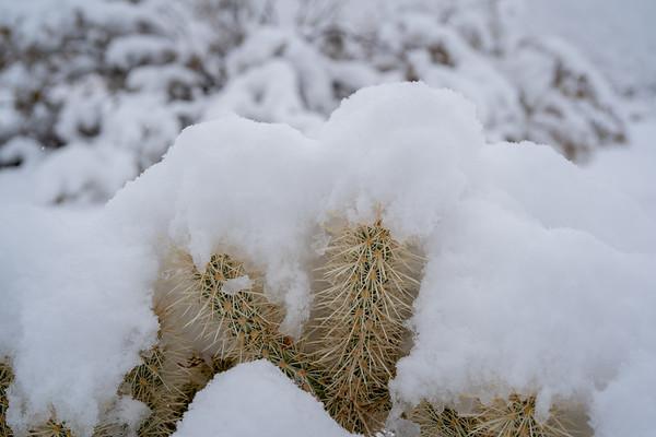 Cholla under the snow, Joshua Tree National Park