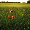 Valmuer i mark (poppies in field)