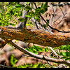 Crust Lichen on Black Locust Branch