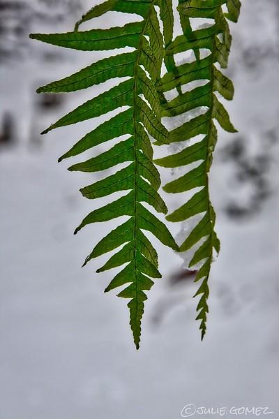 Licorice Fern—Polypodium glycyrrhiza