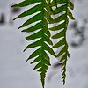 Licorice Fern—Polypodium glycyrrhiza