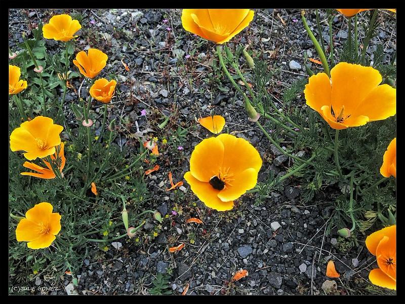 Nectar Bar:  California Poppy—Eschscholzia californica