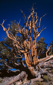 Bristlecone pine, marker 3A, Shulman Grove, Inyo National Forest, California, 1995