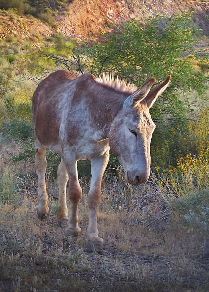 A wild burro wanders along a trail. Lake Pleasant -outside of Phoenix, AZ. 2010
