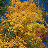 Minnesota - fall maple with yellow leaves