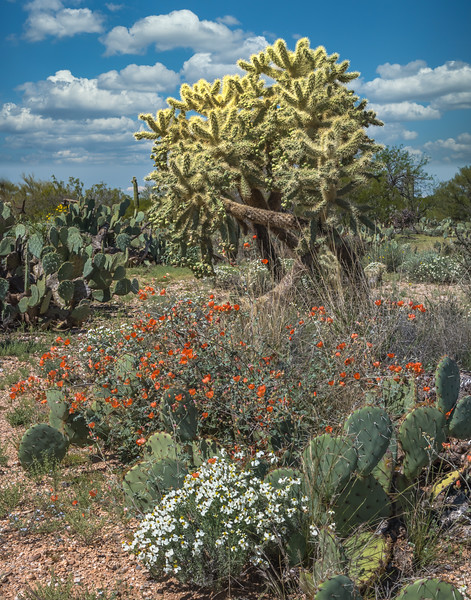 Spring colors at Saguaro National Park