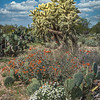 Spring colors at Saguaro National Park