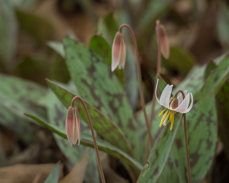 White trout lily blossom and buds