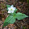Columbia Windflower—Anemone deltoidea