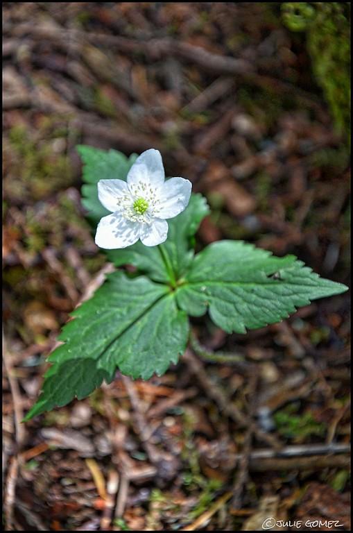 Columbia Windflower—Anemone deltoidea