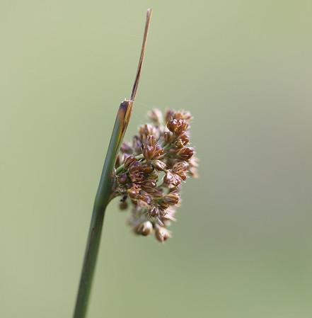 Knop siv (Juncus conglomeratus) eller lyse siv  (Juncus effusus)