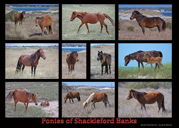 Wild ponies of Shackleford Banks, near where I live.