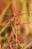 Ammannia coccinea, Scarlet Toothcup; Mercer County, New Jersey. 2014-09-19   14