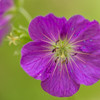 Spotted Geranium, Great Smoky Mountains National Park, Tennessee