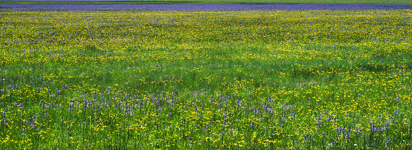 Wildflowers, Modoc County, California, 1995
